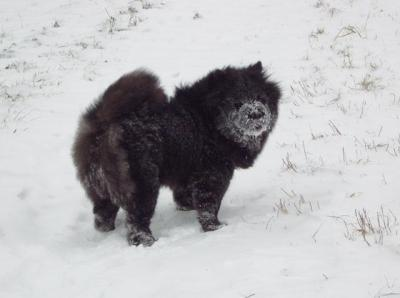Album - Chows - 2009 - Ronja beim Winterspaziergang