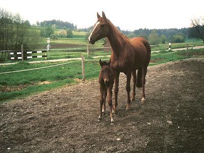 Bilder - Pferde - 1989 - Siri (2 Wochen alt) und seine Mama Gottfrieda
