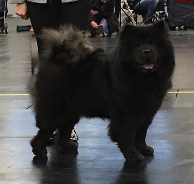 News - Chows - 2016 - Nürnberg - Ronja