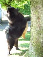 Album - Chows - 2009 - Ronja am Zugersee auf Eichhörnchenjagd am Baum