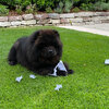 Album - Chows - 2021 - Milly der Sport Chow Chow-2