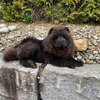Album - Chows - 2021 - Milly der Sport Chow Chow-3