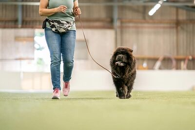News - Chows - 2021 - Milly beim Ringtraining-3