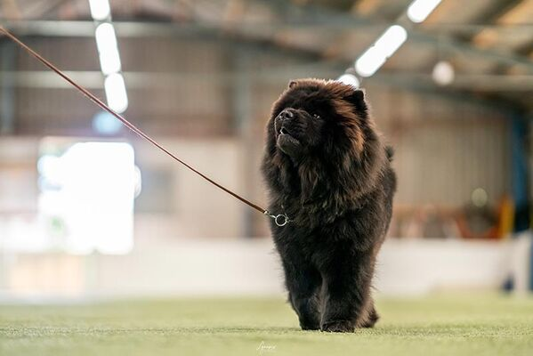 News - Chows - 2021 - Milly beim Ringtraining-2