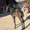 Unsere Pferde: Vaiana-3